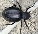 large black desert beetle - Philolithus