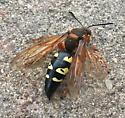 Cool looking Wasp or Hornet - Sphecius speciosus