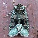 10413 - Explicit Arches Moth - Lacinipolia explicata