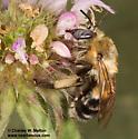 Bee - Anthophora montana - female