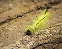 American Dagger Moth (caterpillar stage) - Acronicta americana
