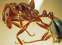 Texas Red Imported Fire Ant major worker - Solenopsis invicta