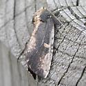 moth - Schizura ipomoeae