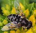fly - Eristalis dimidiata