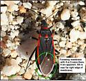 Seed bug fore wing membrane