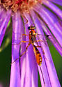 tiny orange and black ichneumon wasp