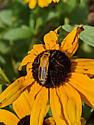 Bee or firefly? - Chauliognathus pensylvanicus