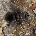 Fly in the sun - Leschenaultia