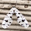 Planthopper - Euklastus harti