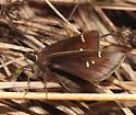 Dusted Skipper - Atrytonopsis hianna