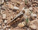 White collared Grasshopper - Conozoa texana - female