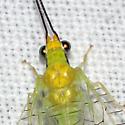 Green Lacewing Detail - Leucochrysa pavida