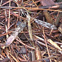 Crane Fly - Tipula - female