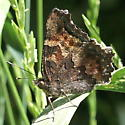 Nymphalidae: Nymphalis californica - Nymphalis californica