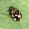 Fungus-eating Lady Beetle - Psyllobora vigintimaculata