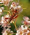 Ichneumon Wasp48 - Spilopteron vicinum - female