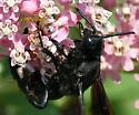 Scoliid wasp - Campsomeris quadrimaculata