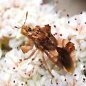Ambush Bug - Phymata pacifica