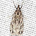 Striped Eudonia Moth - Hodges #4738 - Eudonia strigalis