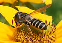Which bee is this, please? - Megachile pugnata - female