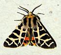 Tiger Moth is this Grammia nevadensis? - Apantesis ornata - male