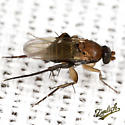 Scuttle Fly - Chaetopleurophora - male