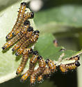Red-humped Caterpillar Moth larvae - Schizura concinna