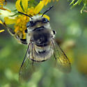 ID for black and white striped bee? - Anthophora urbana - female