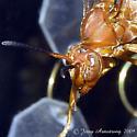 Wasp - Polistes carolina