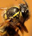 Vespula vulgaris or V. maculifrons? - Vespula flavopilosa