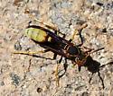 Paper Wasp - Mischocyttarus navajo - female