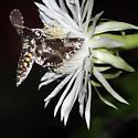 Midnight visitor - Manduca rustica