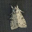Moth - Polia nimbosa