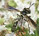Thick-headed Fly - Physoconops brachyrhynchus