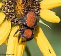 red spider - Phidippus cardinalis