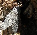 Carpenterworm Moth - Prionoxystus robiniae