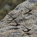 Callibaetis sp. maybe - Callibaetis ferrugineus