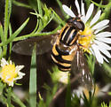 Clear-winged hover fly - Helophilus fasciatus