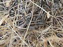 Gray Spider - Hogna carolinensis