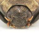 Dryopid - Helichus striatus