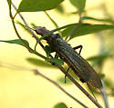 Large Stonefly - Hesperoperla pacifica