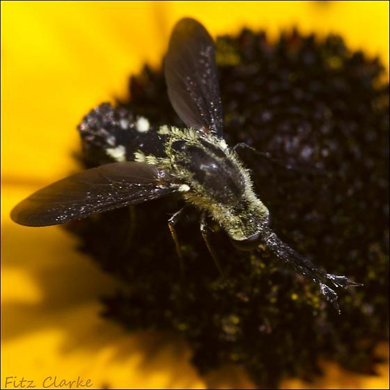 Bombyliidae, Scaly Bee Fly, Lepidophora lepidocera - Lepidophora lepidocera