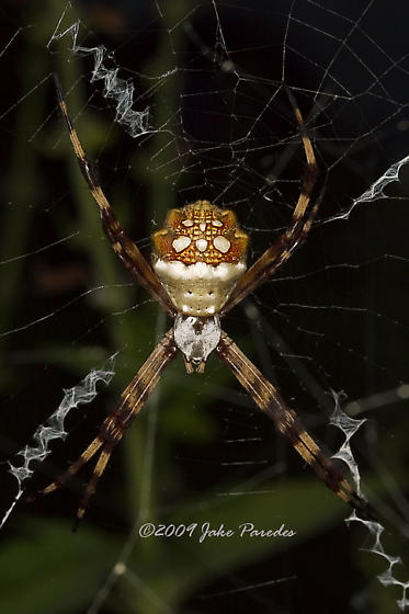 What kind of Spider is this? - Argiope argentata