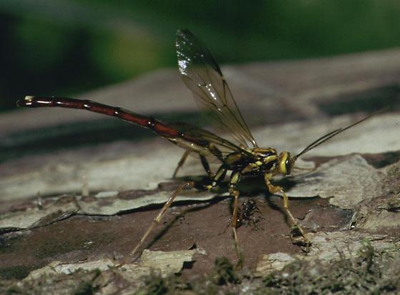 Giant Ichneumon - Megarhyssa atrata - male