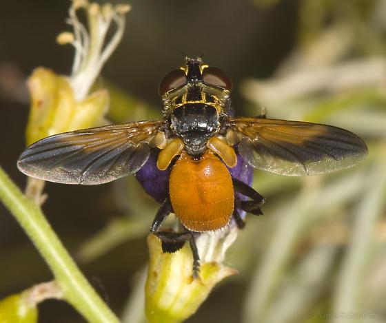 Feather-legged fly - Trichopoda pennipes - male