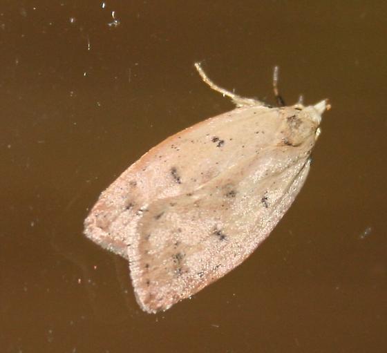 Gold-striped Leaftier - Machimia tentoriferella