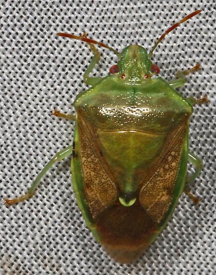 Green Stink Bug - Banasa? - Banasa calva