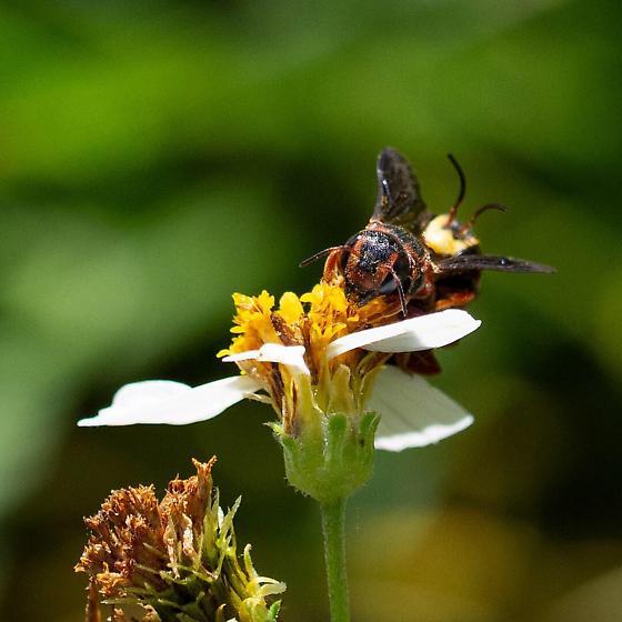 Dianthidium floridiense? - Dianthidium floridiense - male - female