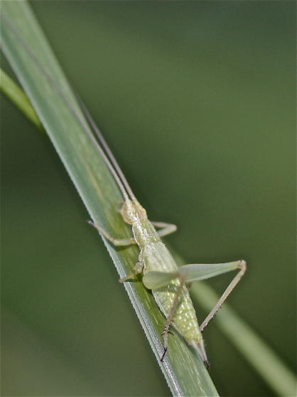 Tree cricket nymph - Oecanthus