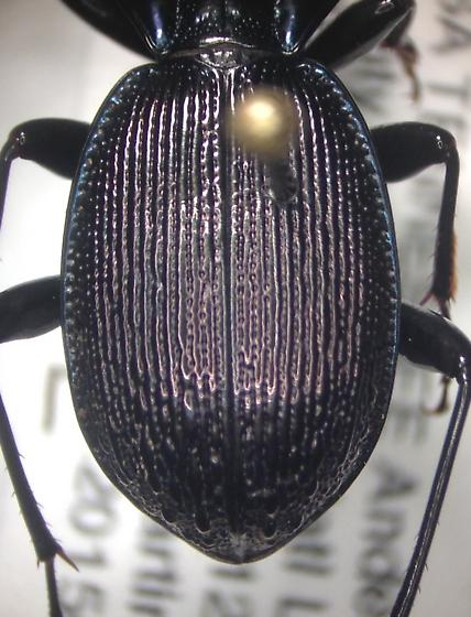 Sphaeroderus stenostomus lecontei? - Sphaeroderus stenostomus - male